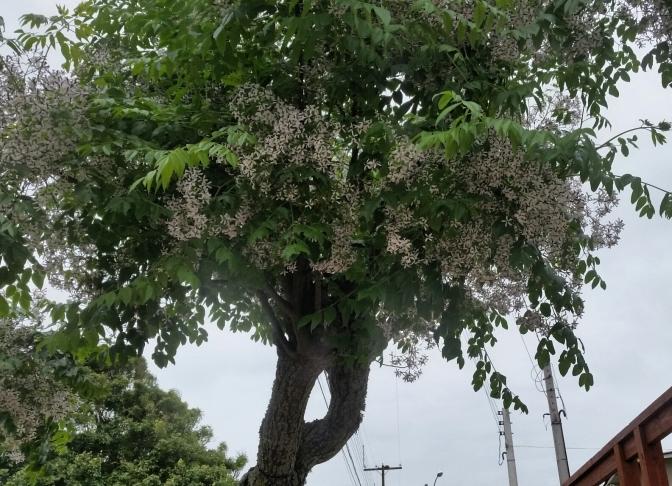 cinamomo florido