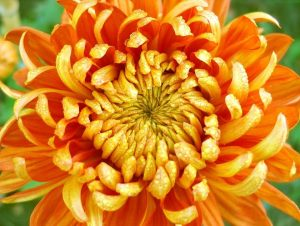 crisantemo-hd