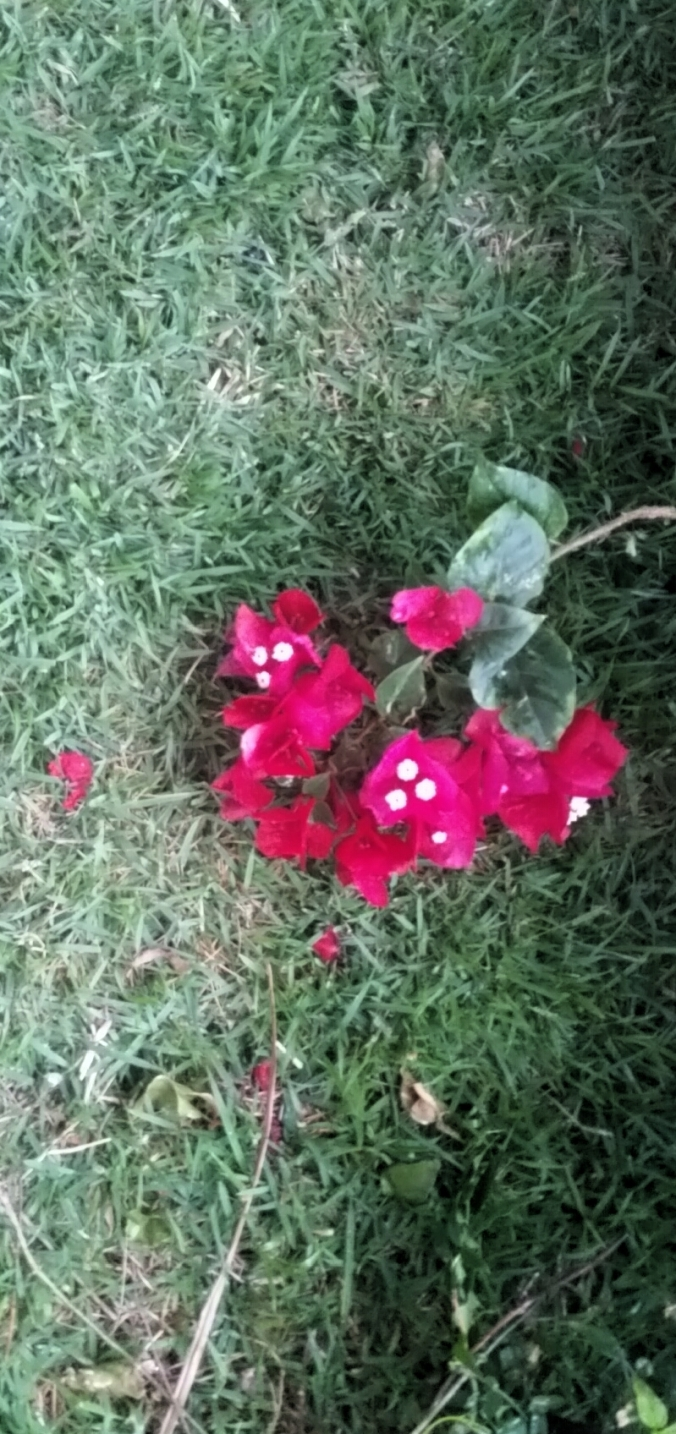 Buganvilia caida na grama