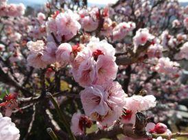 cerejeira flor florida