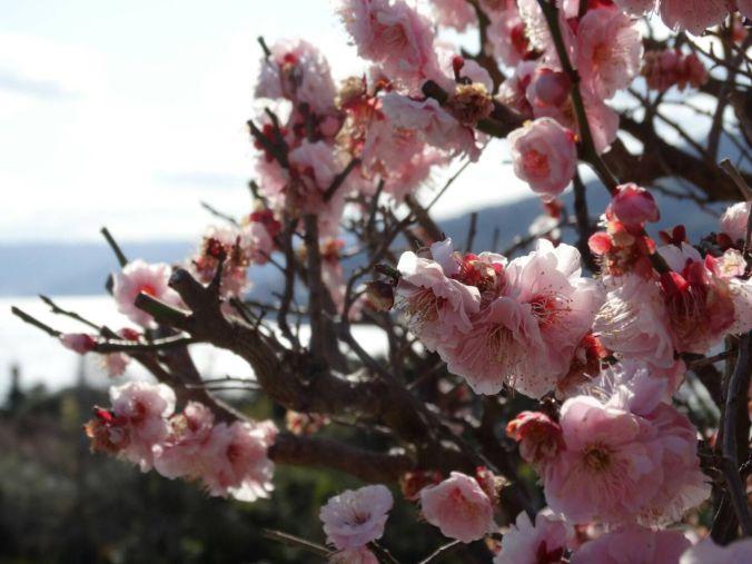 Cerejeiras japonessa