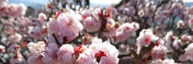 cropped-cerejeira-flor-florida.jpg