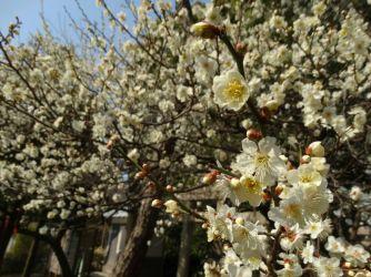 muitas flores nas cerejeiras