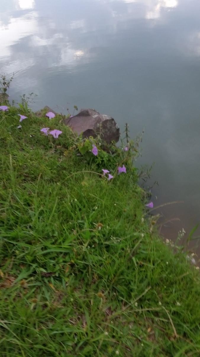 flores azuis da lagoa