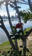 Flor na lagoa LINDAAAAAA