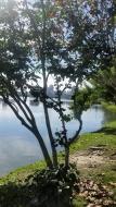 arvore na lagoa