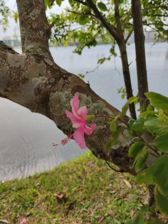 hibisco rosa na lagoa