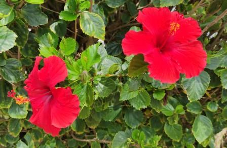 hibiscos vermelhos